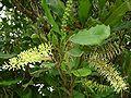 Macadamia integrifolia, buds.jpg