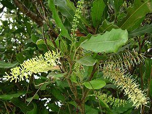 Macadamia - Macadamia integrifolia flowers