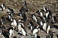Macaroni Penguins at Cooper Bay, South Georgia (5892386009).jpg
