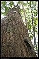 Macrobrochis gigas (caterpillar) (14320344585).jpg