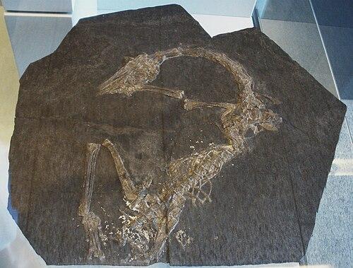 Macrocnemus