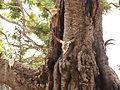 Madagascar Rova ambohimanga courtyard sacred tree.JPG