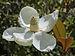 Magnolia grandiflora 3964.jpg
