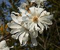 Magnolia stellata D.jpg