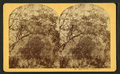 Magnolia tree at home, Fla, from Robert N. Dennis collection of stereoscopic views.png