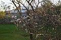 Magnolio blanco - panoramio - CARLOS SALGADO MELLA (1).jpg
