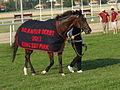 Magyar Derby 2012 A győztes Latin Lover.JPG