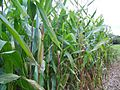 Maize, Chettle - geograph.org.uk - 1028872.jpg