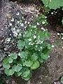 Malá Fatra, Saxifraga rotundifolia.jpg