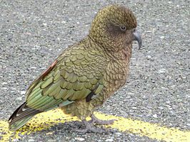 Male Kea Milford sound.jpg