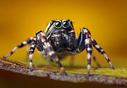 Male Pelegrina galathea Jumping Spider.jpg