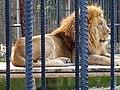 Male lion in Tarsus zoo.jpg