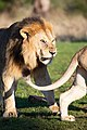 Male lion smelling female lion to determine if shes in heat.jpg