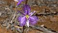 Mallee Fringe Lily flower (15424928993).jpg
