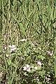 Malope malacoïdes-2871.jpg