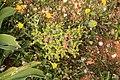 Malta - Marsaxlokk - Triq Delimara - Xrobb L-Ghagin - Euphorbia pinea 03 ies.jpg