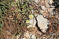Malta - Mellieha - Triq Mellieha - Rdum mic-Cirkewwa sa Benghisa - Pallenis spinosa+Cuscuta epithymum 01 ies.jpg