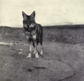 Mammals and life zones of Oregon (1936) Pet coyote.png