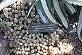 Mammillaria elongata 9zz.jpg