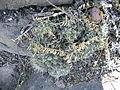 Mammillaria longimamma (5777634160).jpg