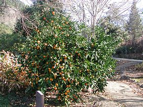 Description de l'image Mandarin_orange_tree.jpg.
