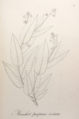Manihot purpureo-costata Pohl11.png