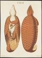 Manis brachyura - 1700-1880 - Print - Iconographia Zoologica - Special Collections University of Amsterdam - UBA01 IZ21000021.tif