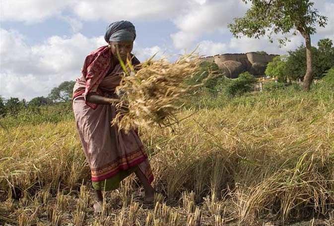 Manual harvest in Tirumayam