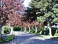 Maple Trees Lower Broadsands Road - geograph.org.uk - 358259.jpg