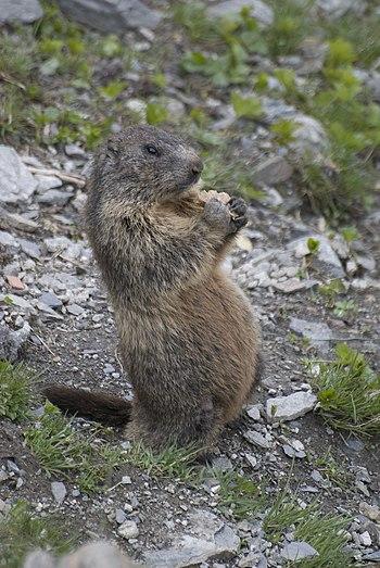 Marmota marmota -Swiss Alps-8