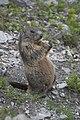 Marmota marmota -Swiss Alps-8.jpg