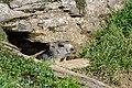 Marmota marmota Tauerntal 20160807 B07.jpg