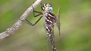 <i>Austroaeschna unicornis</i> Species of dragonfly