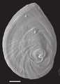 Marstonia comalensis operculum 2.png