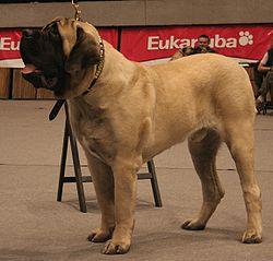 Un Mastín inglés (Old English Mastiff), al que simplemente se le llama Mastín.