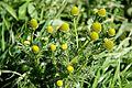 Matricaria discoidea False Chamomile უღერო გვირილა.JPG
