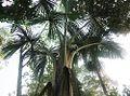 Mauritia flexuosa (19240807343).jpg