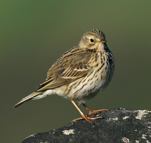 File:Meadow Pipit by Jenny Jones.jpg