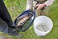 Measuring trout (38226049311).jpg