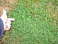 Medicago arabica plant1 (10450437565).jpg