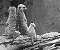Meerkat (Suricata suricatta), Singapore Zoo - 20060422-02.jpg