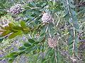 Melaleuca nesophila (fruits).JPG