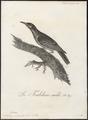 Meliphaga carunculata - 1802 - Print - Iconographia Zoologica - Special Collections University of Amsterdam - UBA01 IZ19200015.tif