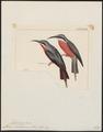 Merops malembicus - 1820-1863 - Print - Iconographia Zoologica - Special Collections University of Amsterdam - UBA01 IZ16800339.tif