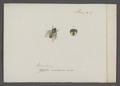 Mesembrina - Print - Iconographia Zoologica - Special Collections University of Amsterdam - UBAINV0274 039 07 0007.tif