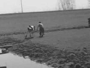 File:Met koeiensprongen het voorjaar in.ogv