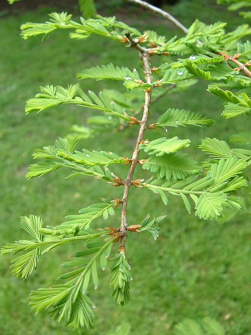 Metasequoia glyptostroboides01.jpg