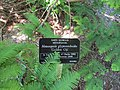 Metasequoia glyptostroboides 'Golden Oji' (28698497632).jpg