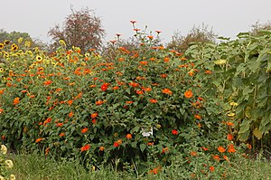 Mexican Sunflower Tithonia rotundifolia Plants 3008px.jpg