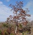 Micklethwaitia carvalhoi - tree (9435964142).jpg